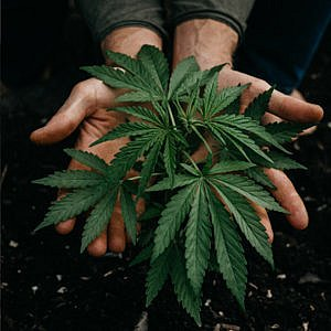 hemp-plant-in-hands