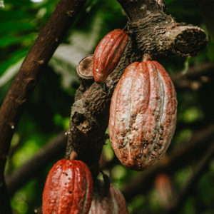 african-cacao-pod-hanging-on-tree