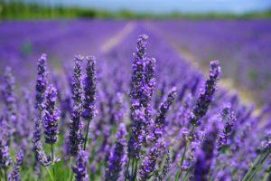 medicinal-herbs-lavendar