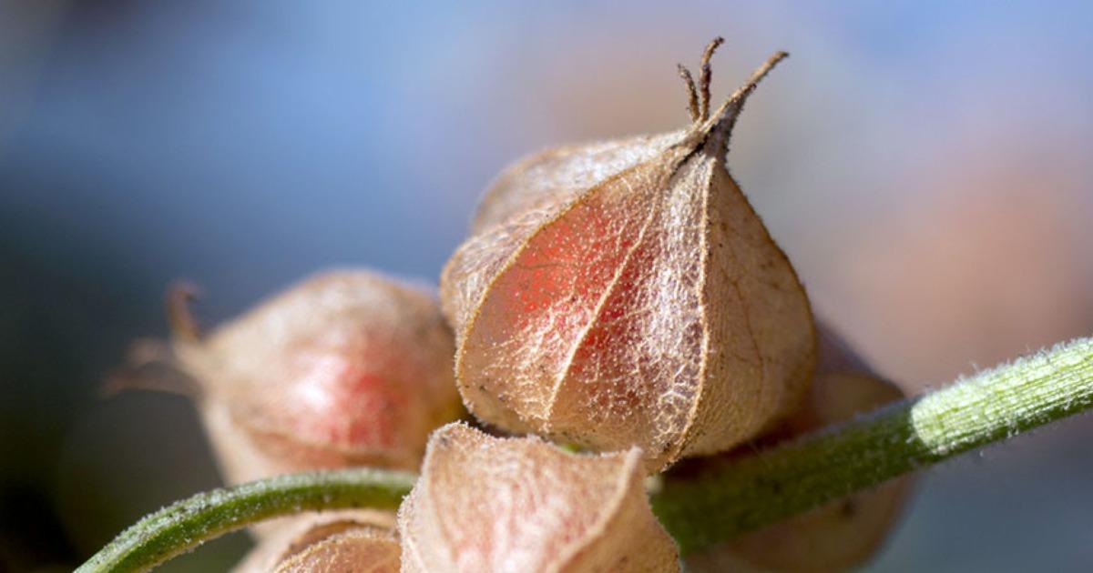 botanical-ashwagandha