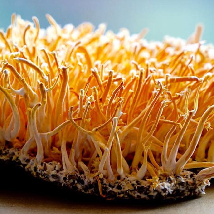 cordyceps-mushroom-science-based-evidence-soaring-free-superfoods
