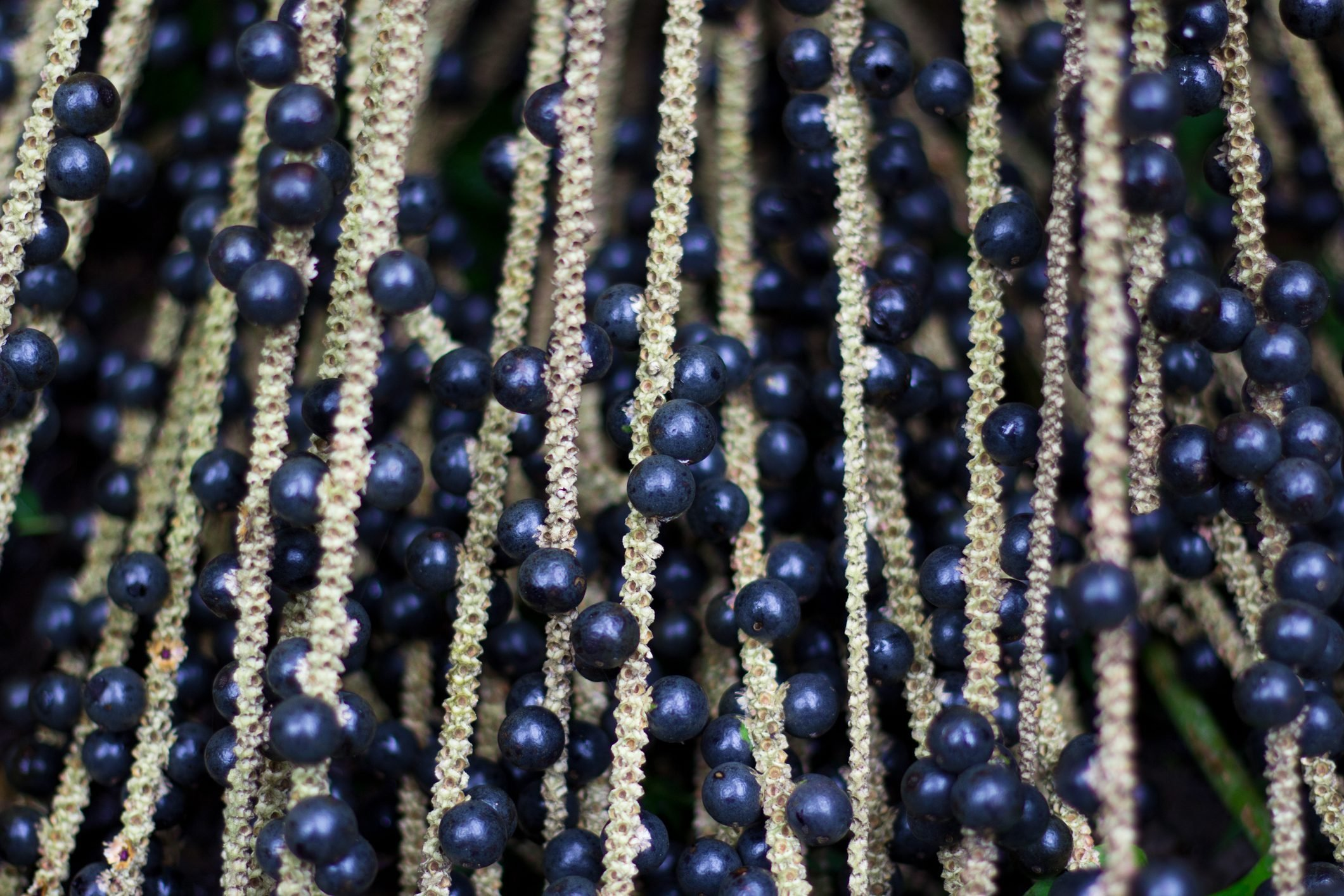 natural-acai-berries